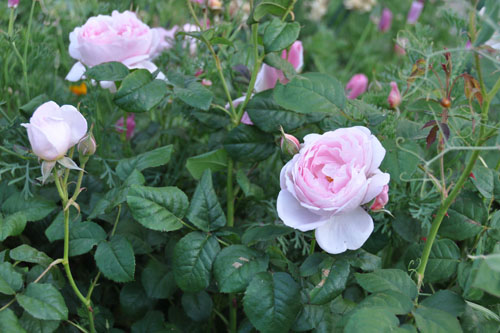 The rose hedge is blooming