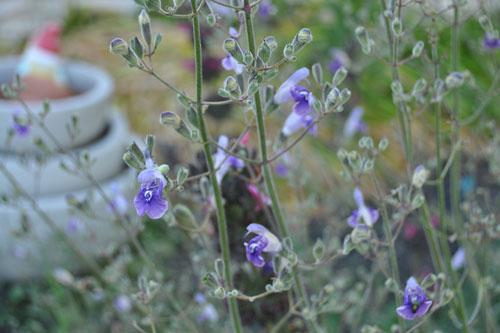 Salvia candelabrum in bloom
