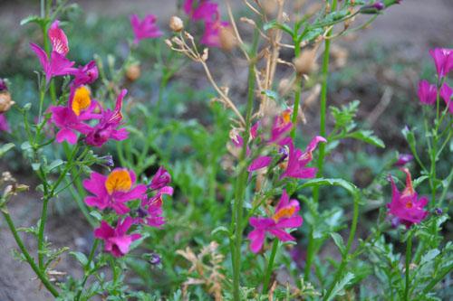 Schizanthus grahamii