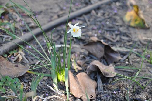 Miniature daffodil in bloom