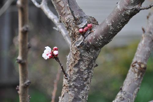 Apricot blossom