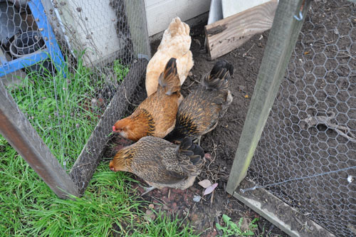 the chickens heading out for a little run-around in the garden