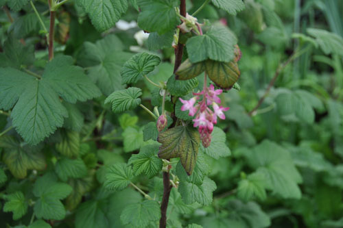 out of focus ribes