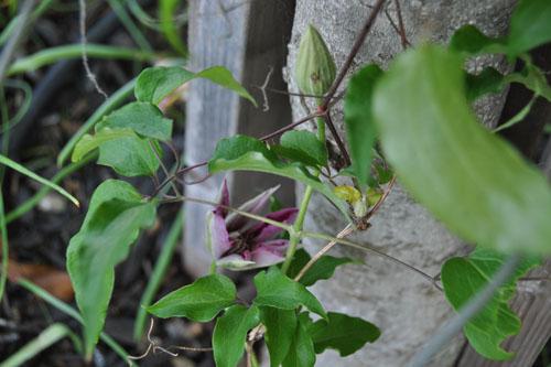 More clematis blooms coming