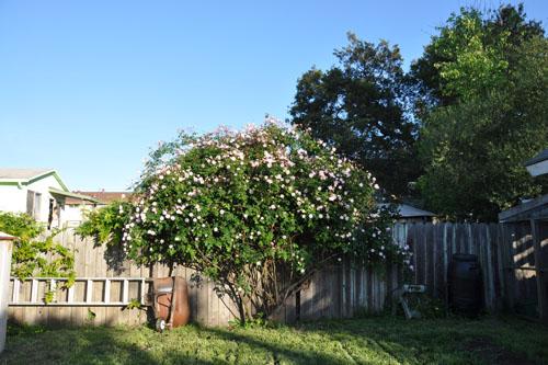 The Cecile Brunner rose