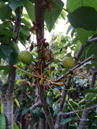 Bad cherry crop