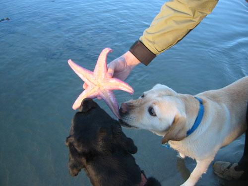 Rosie and Goldie molest a starfish