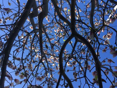 Magnolia Jon-Jon in bloom