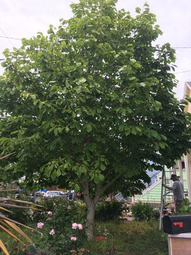 Magnolia before