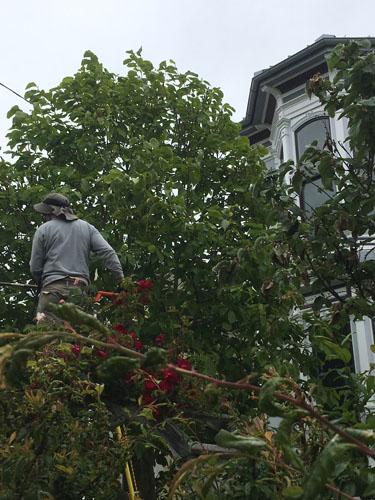 Arborist in the tree